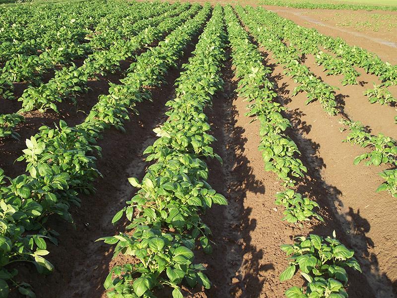 So sehen unsere Kartoffeln 6 Wochen nach dem Pflanzen aus